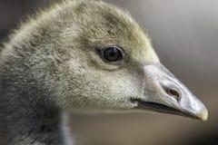 Close up of a Greylag gosling. (Anser anser Stock Images