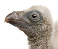 Close-up of Griffon Vulture, Gyps fulvus, 4 days old. In front of white background royalty free stock images