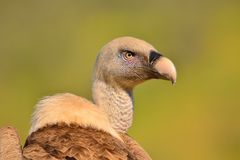 Close-up of griffon vulture head. Royalty Free Stock Photos
