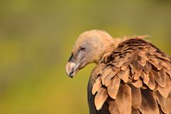Close-up of griffon vulture head. Royalty Free Stock Images
