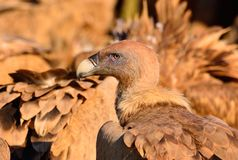 Close-up of griffon vulture head. Royalty Free Stock Photography