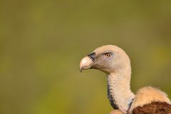 Close-up of griffon vulture head. Royalty Free Stock Photo