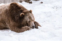 Close-up Grizzly Bear in the winter with snow life styleeat play chill. Close-up Grizzly Bear in the winter on snow Royalty Free Stock Images