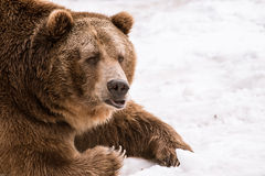 Close-up Grizzly Bear in the winter with snow life styleeat play chill. Close-up Grizzly Bear in the winter on snow Stock Photo