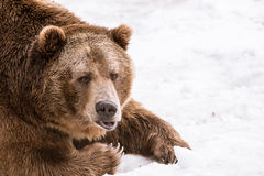 Close-up Grizzly Bear in the winter with snow life styleeat play chill. Close-up Grizzly Bear in the winter on snow Royalty Free Stock Photo