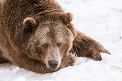 Close-up Grizzly Bear in the winter with snow life styleeat play chill. Close-up Grizzly Bear in the winter on snow Royalty Free Stock Image