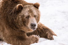 Close-up Grizzly Bear in the winter with snow life styleeat play chill. Close-up Grizzly Bear in the winter on snow Stock Image