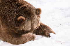 Close-up Grizzly Bear in the winter with snow life styleeat play chill. Close-up Grizzly Bear in the winter on snow Royalty Free Stock Photos