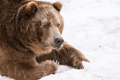 Close-up Grizzly Bear in the winter with snow life styleeat play chill. Close-up Grizzly Bear in the winter on snow Royalty Free Stock Photography
