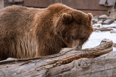 Close-up Grizzly Bear in the winter with snow life styleeat play chill. Close-up Grizzly Bear in the winter on snow Stock Photos