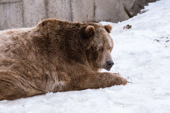 Close-up Grizzly Bear in the winter with snow life styleeat play chill. Close-up Grizzly Bear in the winter on snow Stock Photography