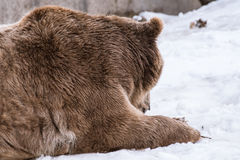 Close-up Grizzly Bear in the winter with snow life styleeat play chill. Close-up Grizzly Bear in the winter on snow Stock Images