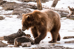 Close-up Grizzly Bear in the winter with snow life styleeat play chill Stock Photo