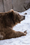 Close-up Grizzly Bear in the winter with snow life styleeat play chill Royalty Free Stock Photography