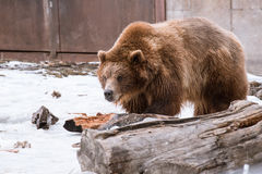 Close-up Grizzly Bear in the winter with snow life styleeat play chill Royalty Free Stock Images