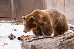 Close-up Grizzly Bear in the winter with snow life styleeat play chill Royalty Free Stock Image