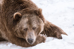 Close-up Grizzly Bear in the winter with snow life styleeat play chill Royalty Free Stock Photo