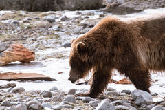 Close-up Grizzly Bear in the winter with snow life styleeat play chill Royalty Free Stock Photos