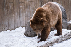 Close-up Grizzly Bear in the winter with snow life styleeat play chill Stock Images