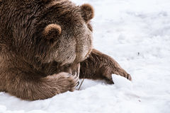 Close-up Grizzly Bear in the winter with snow life styleeat play chill Stock Photography