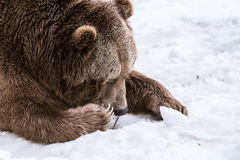 Close-up Grizzly Bear in the winter with snow life styleeat play chill Stock Image