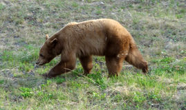 A close-up of a grizzly in nature Royalty Free Stock Photos