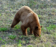 A close-up of a grizzly in nature Stock Images