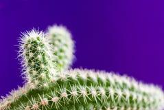 Close-up groene aporocactus op in violette achtergrond met exemplaarruimte Royalty-vrije Stock Foto's