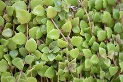 Close-up groene bladeren Royalty-vrije Stock Afbeeldingen