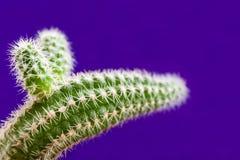 Close-up groene cactus als dierlijk hoofd op in violette achtergrond met exemplaarruimte Royalty-vrije Stock Foto's