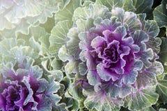 Close-up groene decoratieve sierkool Stock Afbeelding