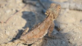 Close up of ground agama agama aculeta . The scales on his back are clearly visible. Ground agama agama aculeta camouflaged on brown rock. The agama is a small royalty free stock photography