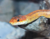 A Close Up of a Ground Snake. A Close Up look at a Ground Snake, Sonora semiannulata Stock Photos
