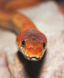 A Close Up of a Ground Snake. A Close Up look at a Ground Snake, Sonora semiannulata Stock Images