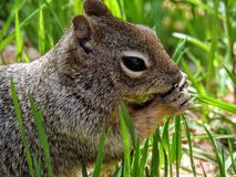 Close up of a Ground Squirrel Royalty Free Stock Photos