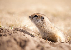 Close Up of a ground squirrel. Portrait of a ground squirrel looking out of his hole royalty free stock photos