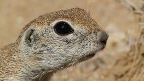 Close-up of a ground squirrel Xerus inaurus in Kalahari desert, South Africa stock photo