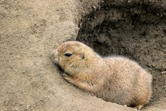 Brown groundhog in sand hole. Close up of a groundhog in sand hole royalty free stock images