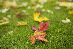 Close up of a group of autumn leaves. Colorful autumn leaves on green grass close up Royalty Free Stock Image