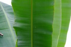 Close up a group of banana leaf on white isolated royalty free stock photography
