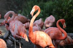 Close up group of a beautiful pink flamingos against green background. They have the longest neck legs and in proportion to body s. Ize of all birds. Flamingos royalty free stock images