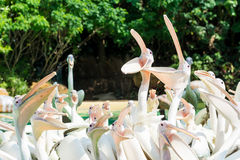 Close-up of a group of big white pelican birds with open mouths. Standing in a pool in the Royalty Free Stock Images