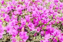 Closeup of group bright pink bougainvillea blossoms as a background Royalty Free Stock Image