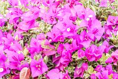 Closeup of group bright pink bougainvillea blossoms as a backgro Royalty Free Stock Image