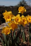 Close up of group of bright yellow spring Easter daffodils blooming outside in springtime royalty free stock photos