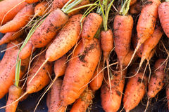 Close-up of a group of carrots just harvested Stock Photography
