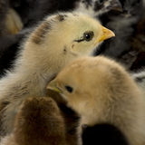 Close-up of group of chicks Royalty Free Stock Photos