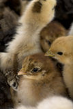 Close-up of group of chicks Royalty Free Stock Images