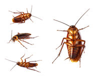 Close up of group cockroach isolated Stock Photo