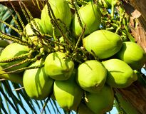 Close up of group coconuts on branch tree. Crop image Royalty Free Stock Photography